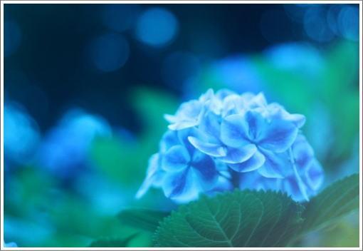 やわらかな紫陽花.jpg